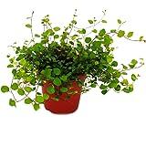 Houseplant - Mühlenbeckia complexa - Kiwi knotweed - 12cm pot