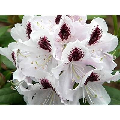 """Rhododendron Calsap - White Bloom with Purple Blotch - Hardy to -25 (15-21"""" Wide - Typically 5 Gallon) : Garden & Outdoor"""