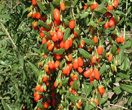Amazon Com Goji Berry 100 Seeds Chinese Wolfberry Perennial