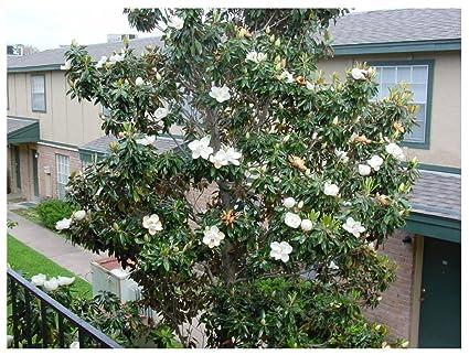 Amazoncom 5 Southern Magnolia Seeds Magnolia Grandiflora Garden