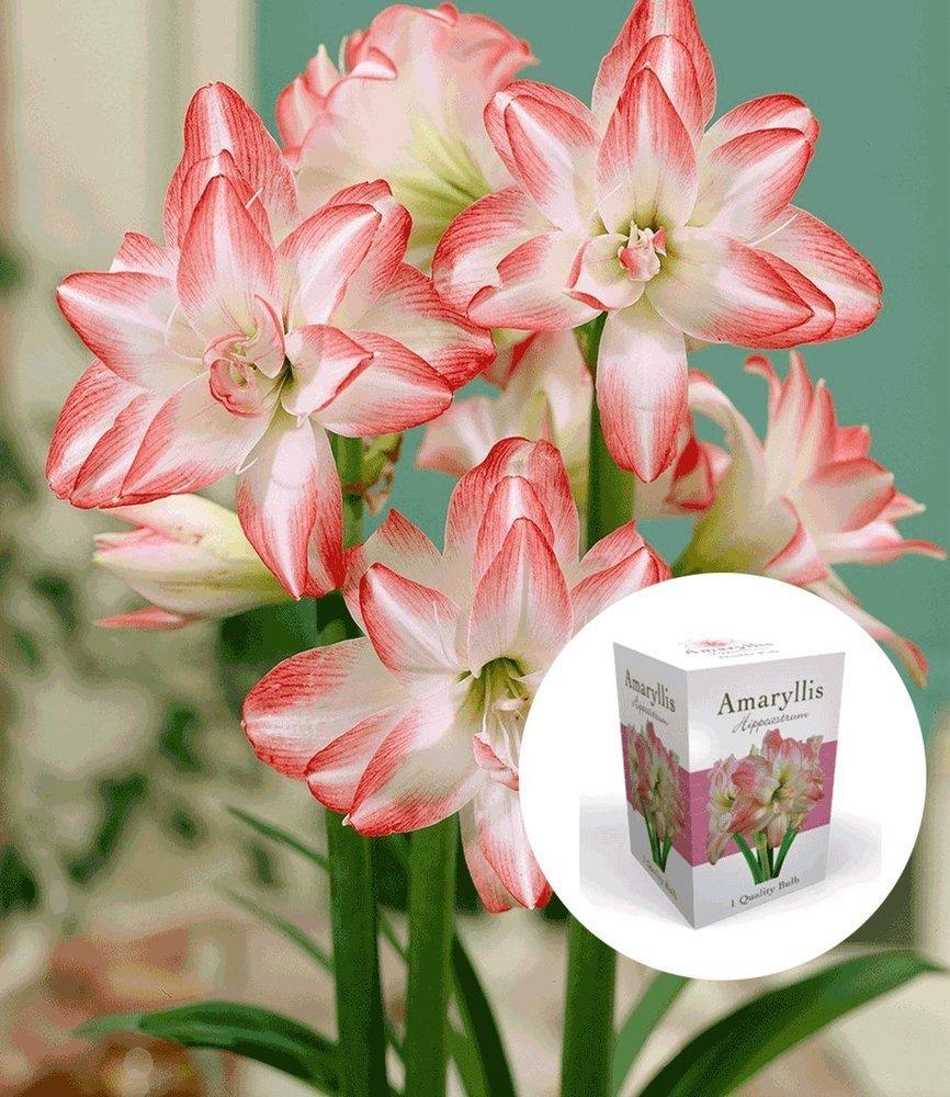 BALDUR-Garten Geschenkbox gefüllte AmaryllisDouble Pink 1 Set Ritterstern Hippeastrum