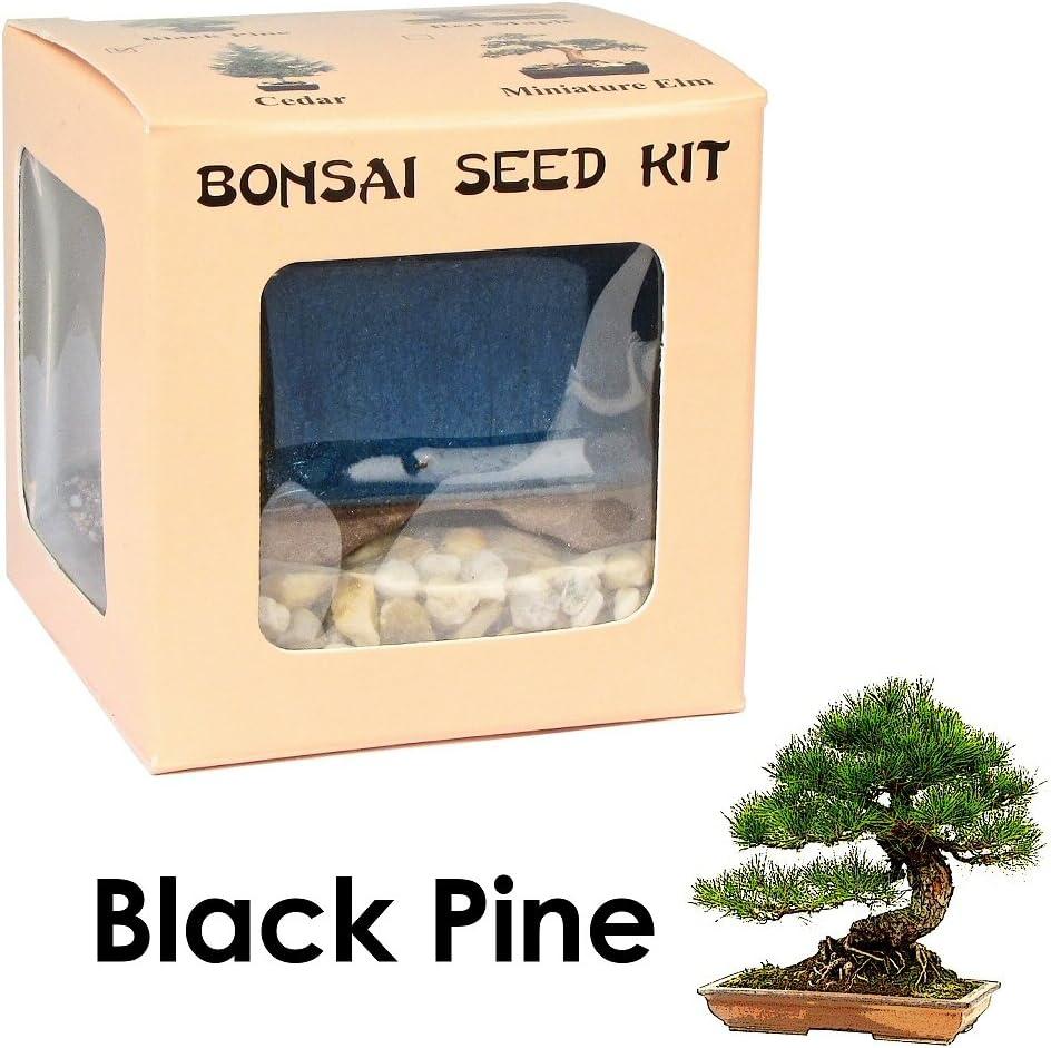 Amazon Com Eve S Black Pine Bonsai Seed Kit Woody Complete Kit To Grow Black Pine Bonsai Tree From Seed Garden Outdoor
