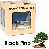 Eve's Black Pine Bonsai Seed Kit, Woody, Complete Kit to Grow Black Pine Bonsai Tree from Seed