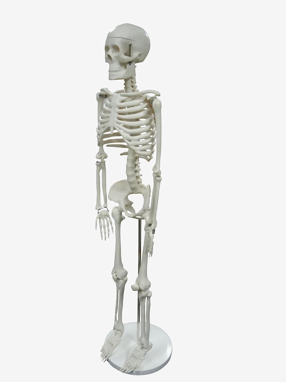 人体模型 骨 頭蓋骨 全身骨格 1/2モデル 85cm B00E19EXLI