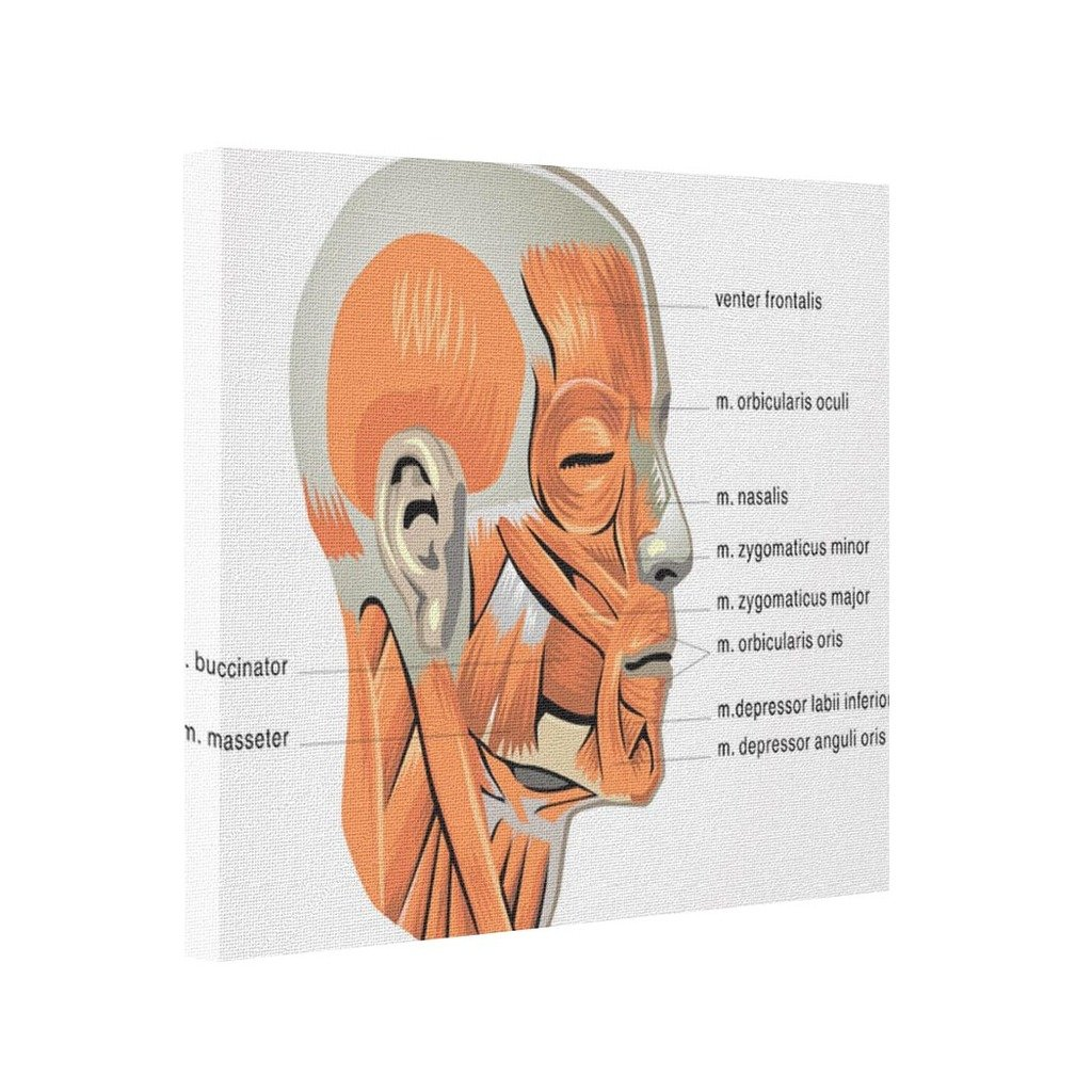 Funny 2016 Face Diagram Maxillofacial Face Muscles Amazon Home