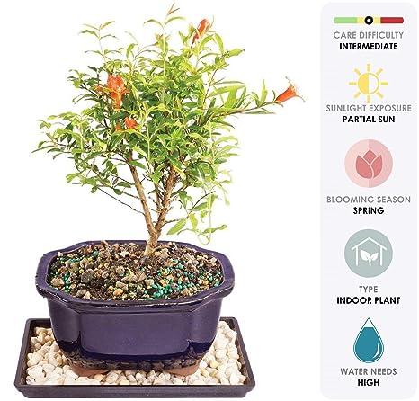 Amazoncom Brussels Live Dwarf Pomegranate Indoor Bonsai Tree 5