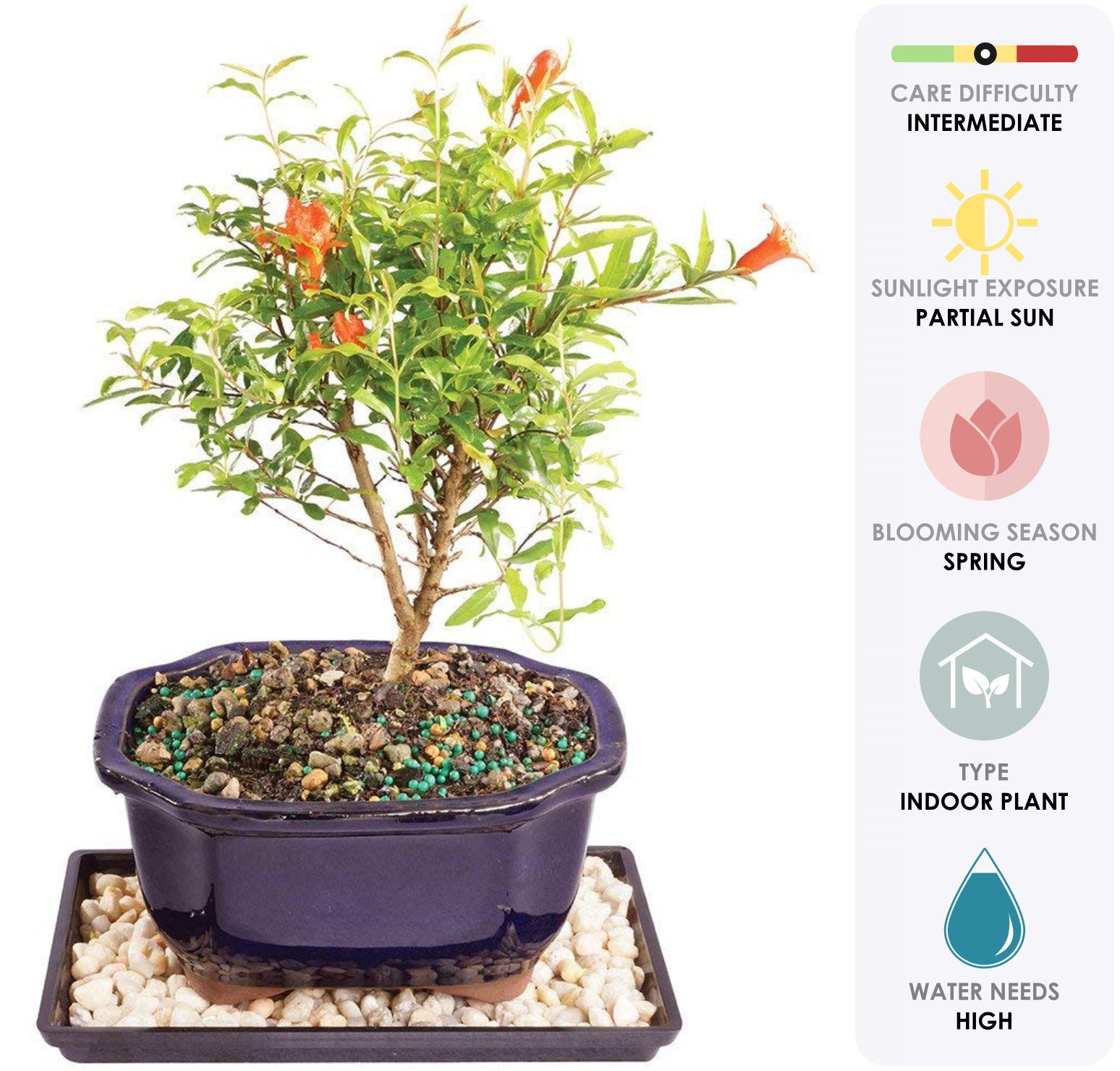 Brussel's Live Dwarf Pomegranate Indoor Bonsai Tree - 5 Years Old; 8'' to 12'' Tall with Decorative Container, Humidity Tray & Deco Rock