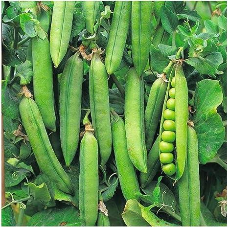 Pea Kelvedon Wonder 10 Seeds