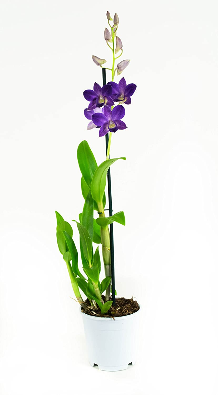 FloraAtHome - Orchid - Dendrobium Sa-Nook - Thailand Black - 60cm high - set of 2