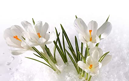 Amazon 10 white crocus bulbs best choice marvelous flowers 10 white crocus bulbs best choice marvelous flowers beauiful decoration easy to plant potted mightylinksfo