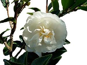 Mine No Yuki White Doves Camellia Sasanqua - Live Plant - Full Gallon Pot