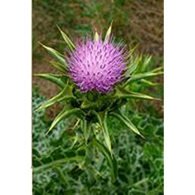 Blessed Milk Thistle - 200 Seeds - Organically Grown - NON-GMO : Garden & Outdoor