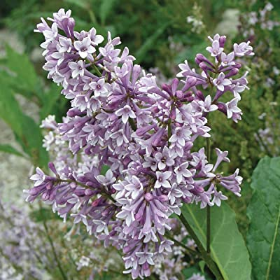 Donald Wyman Lilac (Syringa) Starter Hedge Kit, Live Bareroot Shrubs, 2 to 3 feet Tall (3-Pack) - Just $30.00 per Plant Delivered! : Garden & Outdoor