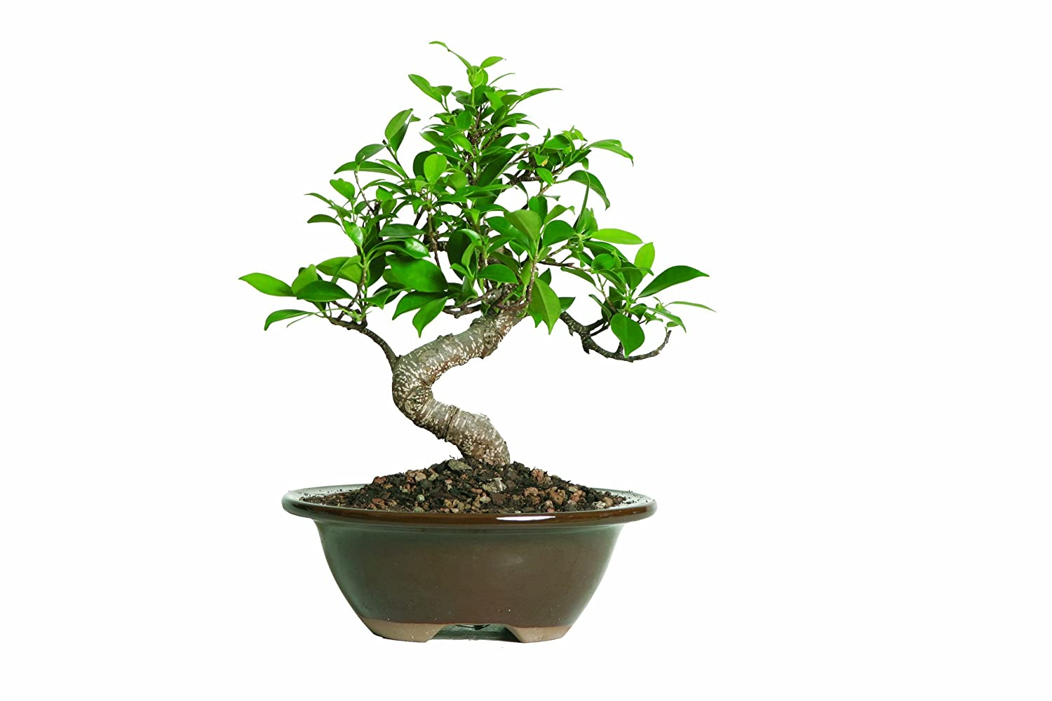 brussels golden gate ficus bonsai add bonsai office interior