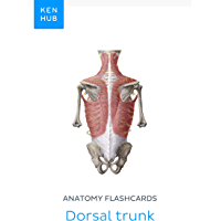 Anatomy flashcards: Dorsal trunk: Learn all bones, ligaments, arteries, veins, nerves and muscles on the go (Kenhub…