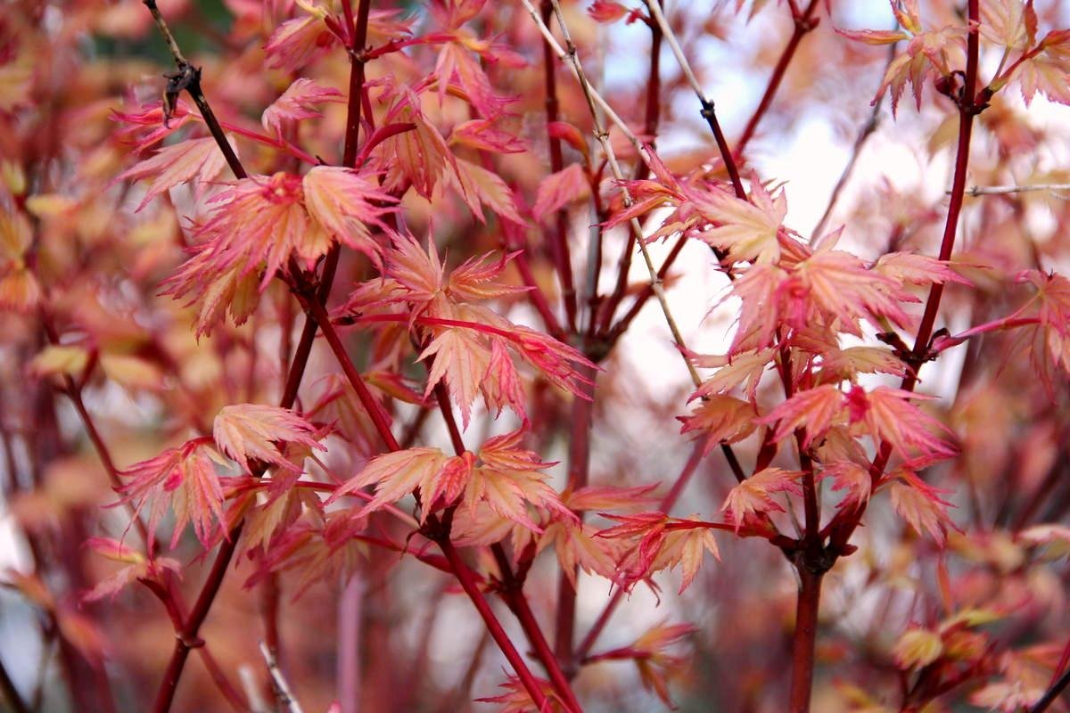 Coral Pink Japanese Maple - Beautiful Coral Pink Leaves in Spring Light Up the Garden 3 - Year Live Plant