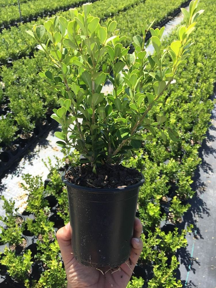 Winter Gem Korean Boxwood Qty 12 Live Plants 4'' Container Fast Growing Cold Hardy Evergreen by Winter Gem Korean Boxwood (Image #1)