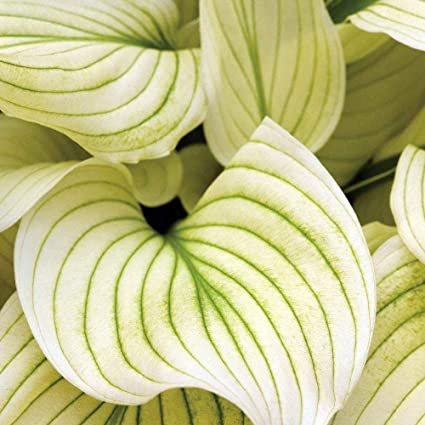 Amazoncom 2 White Feather Bareroot Hosta Bulbs Garden Outdoor