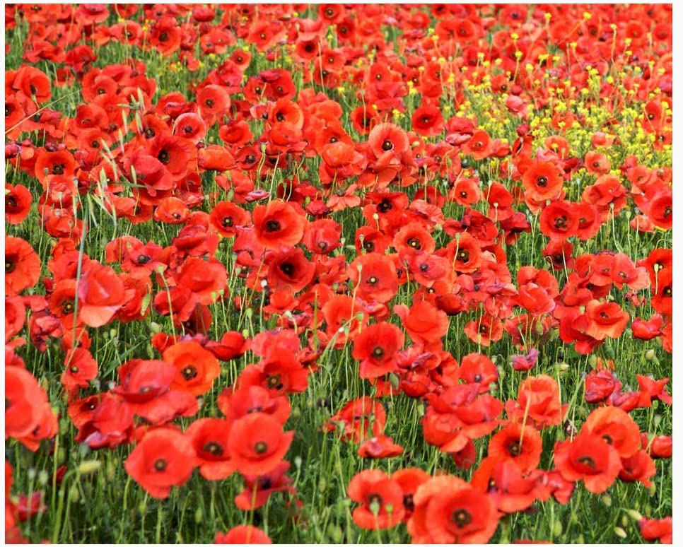 Amazon Com Red Flanders Poppies 50 000 Flanders Poppy Seeds