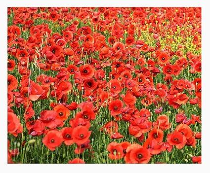 Image result for poppy flower