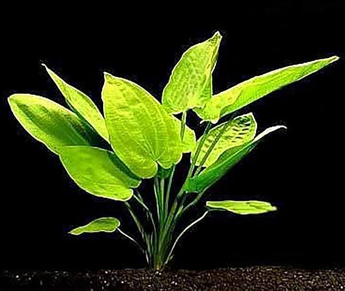 15 Plantas de Acuario en Vivo/7 Tipos Diferentes - Combo Personalizado (Anubias, Amazon Sword, Java Fern, Musgo Mucho más). Gran muestrario de Plantas para ...