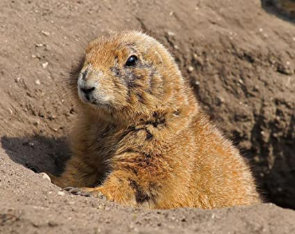 Amazon Com Gifts Delight Laminated 30x24 Inches Poster Prairie Dog
