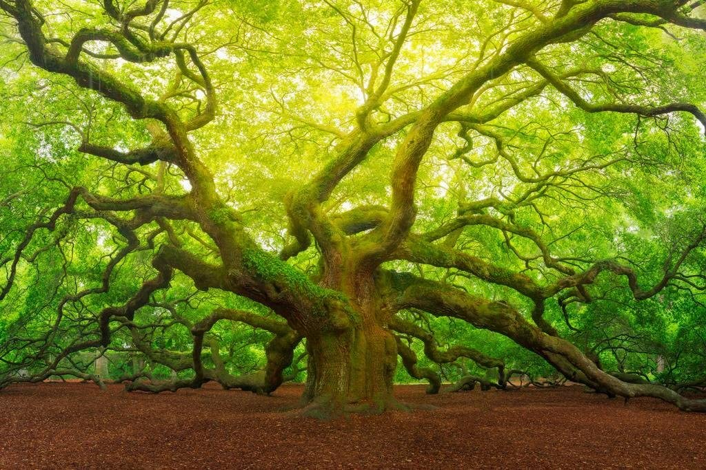 Angel Oak Tree Canopy Charleston South Carolina Photo Photograph Cool Wall Decor Art Print Poster 36x24