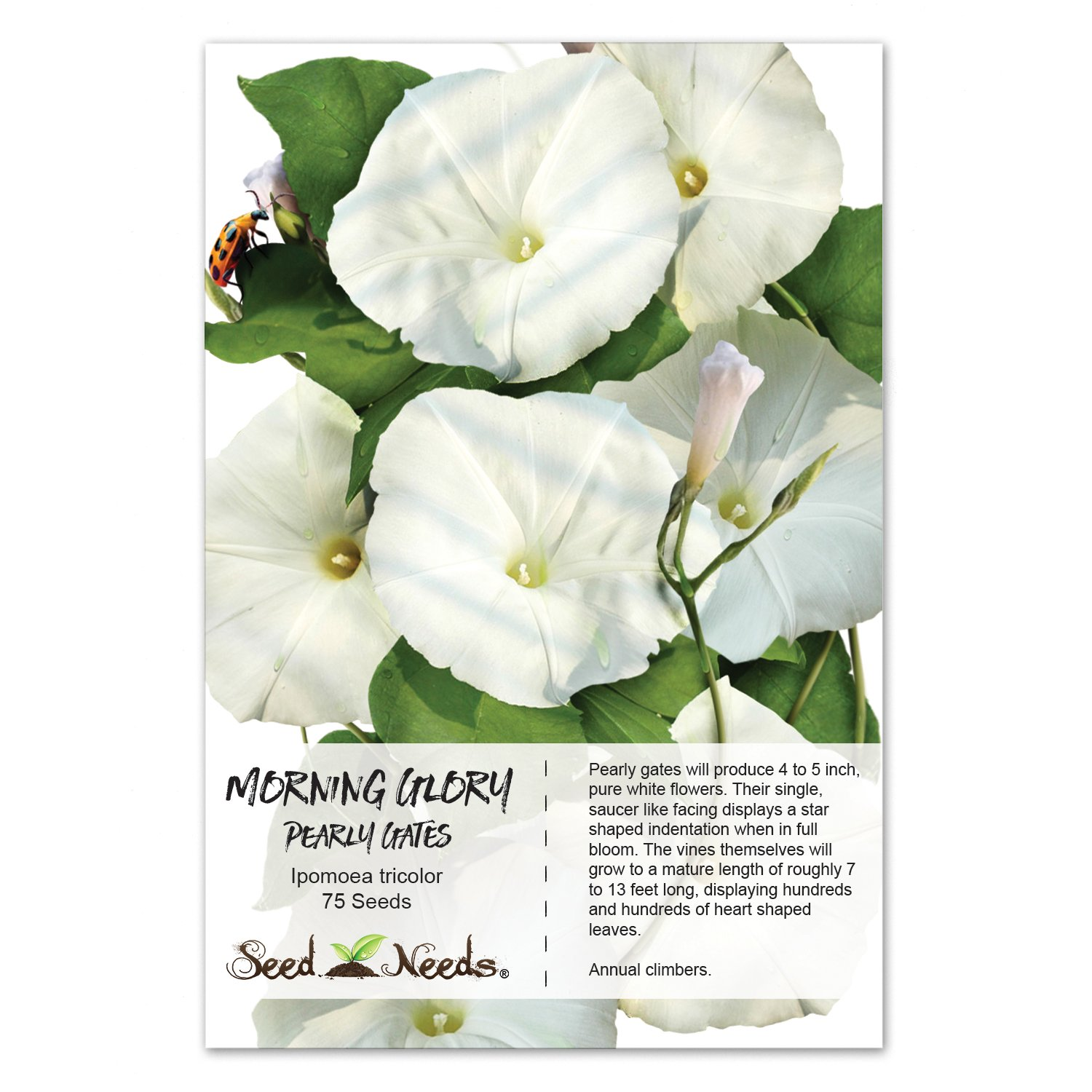 Amazon Package Of 75 Seeds Pearly Gates Morning Glory