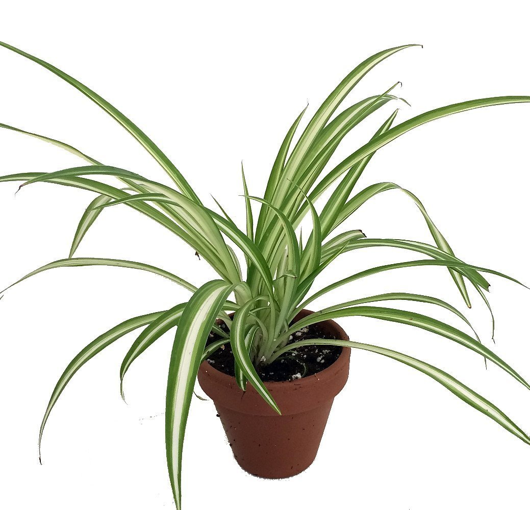Ocean Spider Plant - 4 Clay Pot for Better Growth - Cleans the Air/Easy to Grow Hirt' s