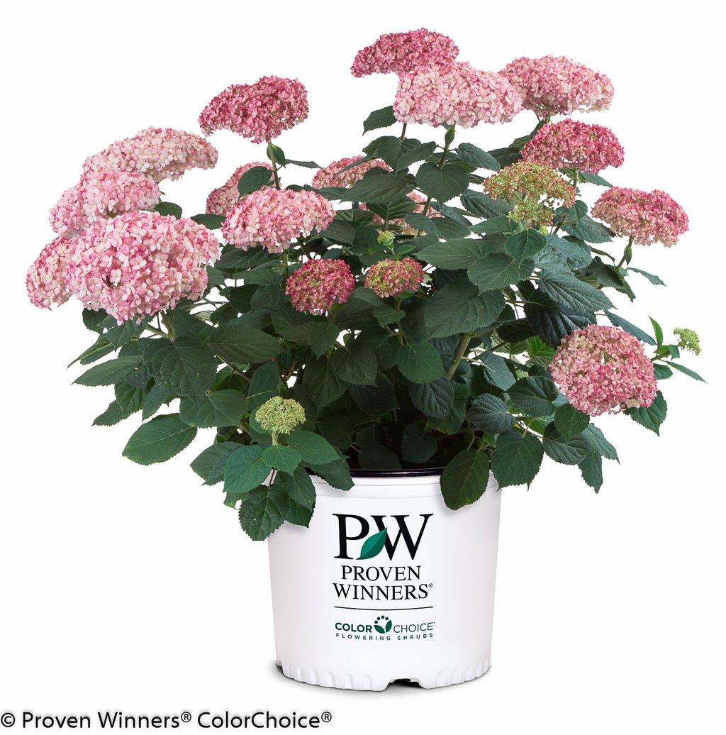 Proven Winners - Hydrangea arb. Invincibelle Spirit II (Smooth Hydrangea) Shrub, pink mophead flowers, #3 - Size Container
