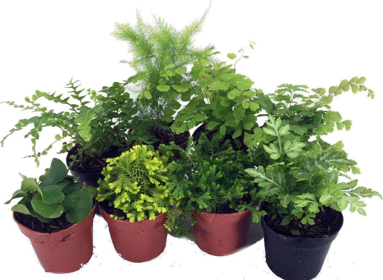 """Mini Ferns for Terrariums/Fairy Garden - 8 Different Plants - 2"""" Pots"""