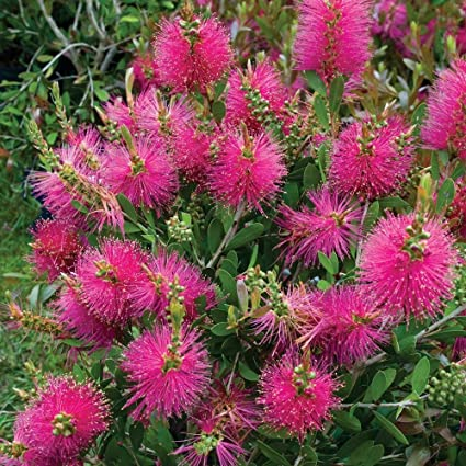 für den Garten die wunderschöne violette Schneckenbohne rankt überall hin !