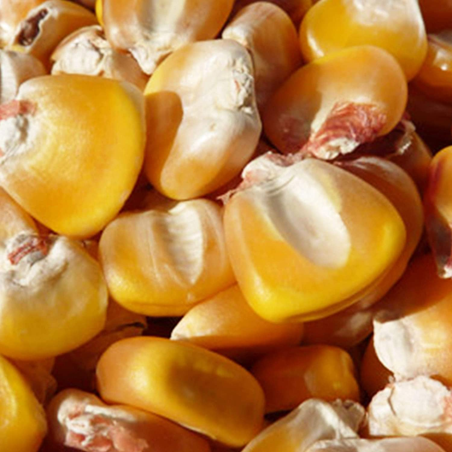 Hickory King Yellow Corn Seeds - 1 LB ~880 Seeds - Non-GMO, Heirloom, Open Pollinated - Vegetable Gardening Seeds