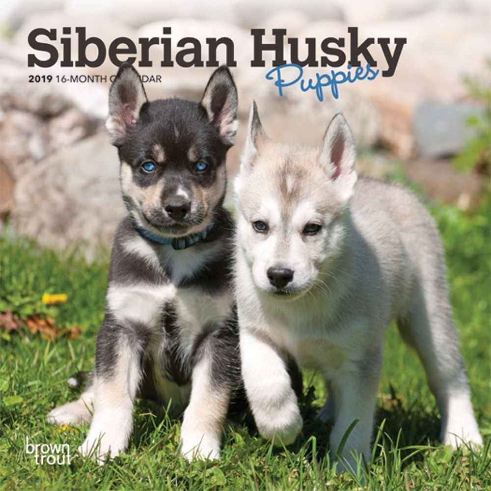 Siberian Husky Puppies Mini Wallカレンダー、シベリアンハスキーby Browntrout   B07DGPDYBX