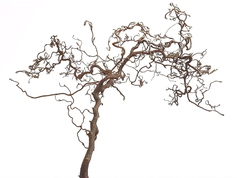 1 Korkenzieherzweig für Vögel L (ca. 80 cm) - Haselnuss-Sitzast - Sitzzweig als natürliches Vogelzubehör dient es als Vogelspielzeug Vogelplanet