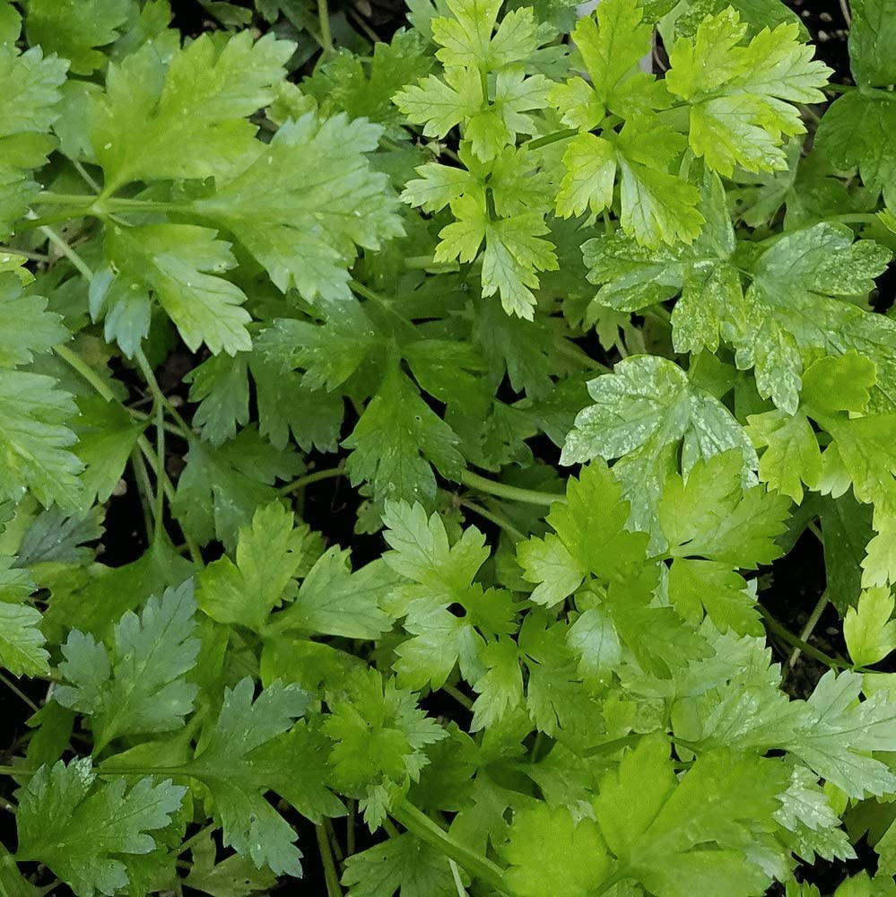2 Live Single Parsley aka Petroselinum Crispum Herbs Plant Fit 4 Pot