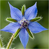 Package of 100 Seeds, Borage Herb (Borago officinalis) Non-GMO Seeds by Seed Needs