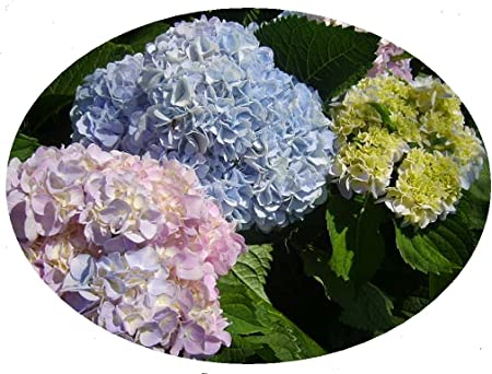 Amazon Com Grannys Garden Tm Heirloom Southern Hydrangea Litmus