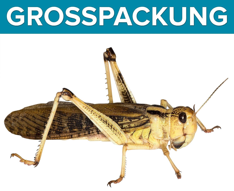 Heuschrecken groß adult 50 Stück Wanderheuschrecken Futterinsekten Reptilienfutter Feeders & more
