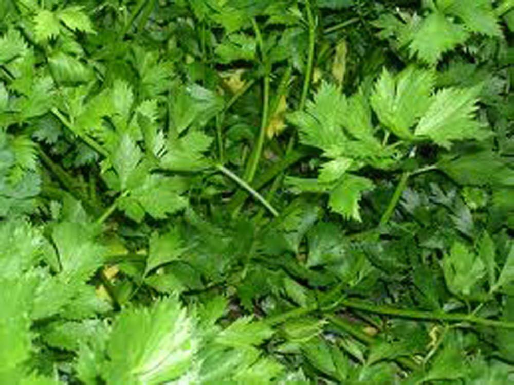Parsley, Italian Dark Green Flat Leaf Parsley Seeds, Heirloom, Non GMO, 100 Seeds, Parsley Seeds