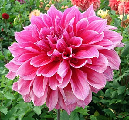 Emory Paul Dinnerplate Dahlia - 2 Bulb Clumps #1 Size & Amazon.com : Emory Paul Dinnerplate Dahlia - 2 Bulb Clumps #1 Size ...