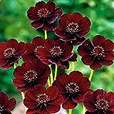 Afco 100Pcs Chocolate Cosmos Flower Seeds Cosmos Bipinnatus Calliopsis Garden Bonsai Plant