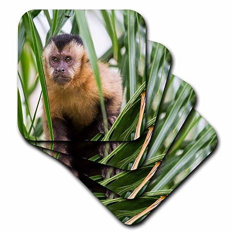 Amazon.com | 3dRose Danita Delimont - Primates - Brazil, Mato Grosso ...