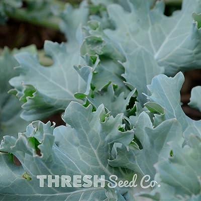 Dwarf Siberian Kale - 100 Seeds : Garden & Outdoor