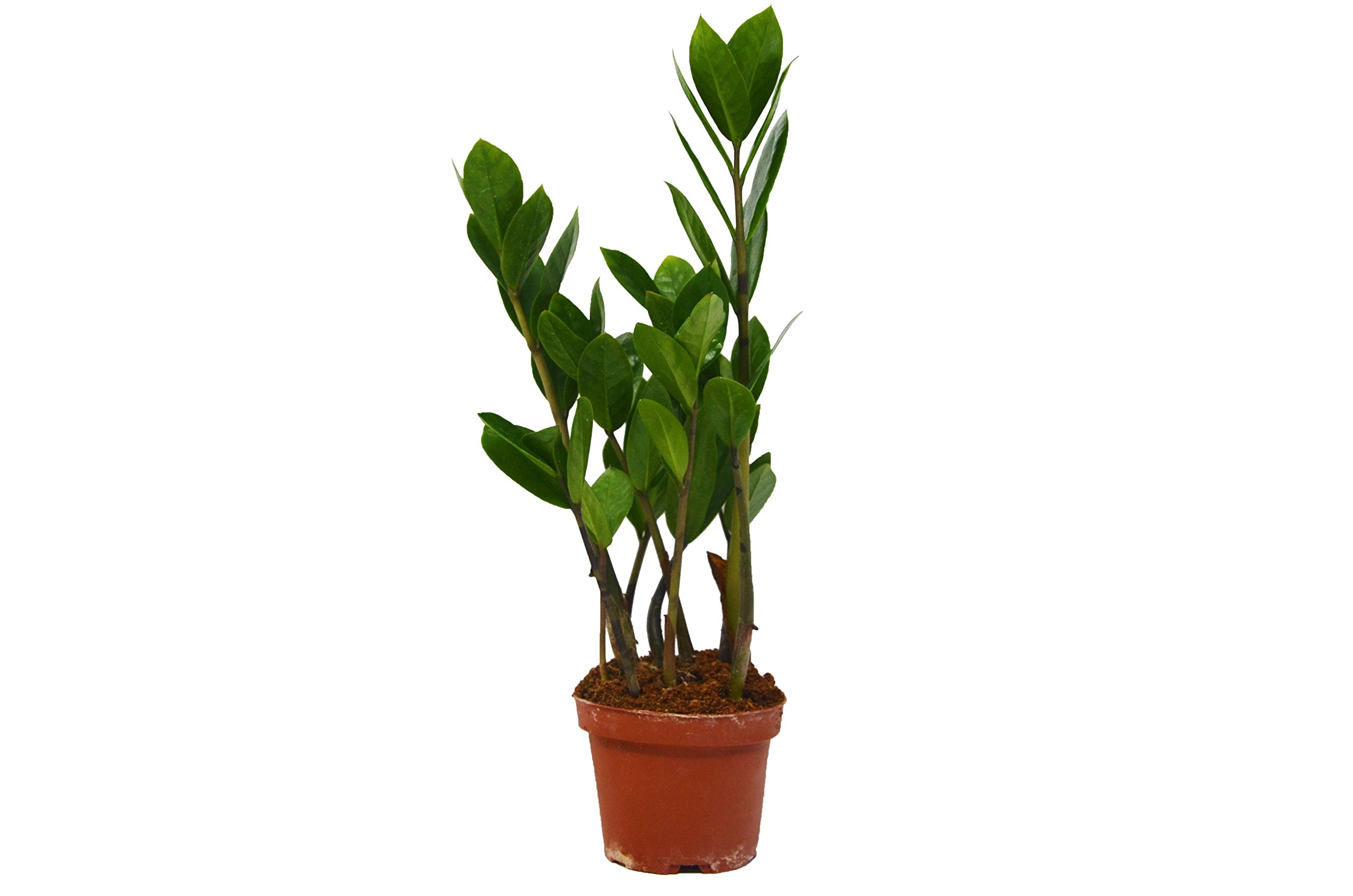 Zamioculcas Zamiifolia ZZ plant - In 4'' Pot - Live House Plant - FREE Care Guide - 16'' - 24'' Tall! by House Plant Shop