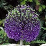 "Zierlauch - Allium"" Purple Sensation"" (3)"