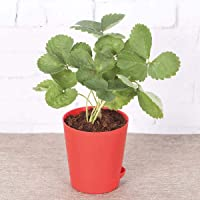 Ugaoo Strawberry Natural Live Plant with Self Watering Pot
