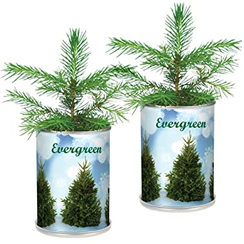 set2 christmas tree in a can grow your own holiday plant - How Long Does A Christmas Tree Take To Grow