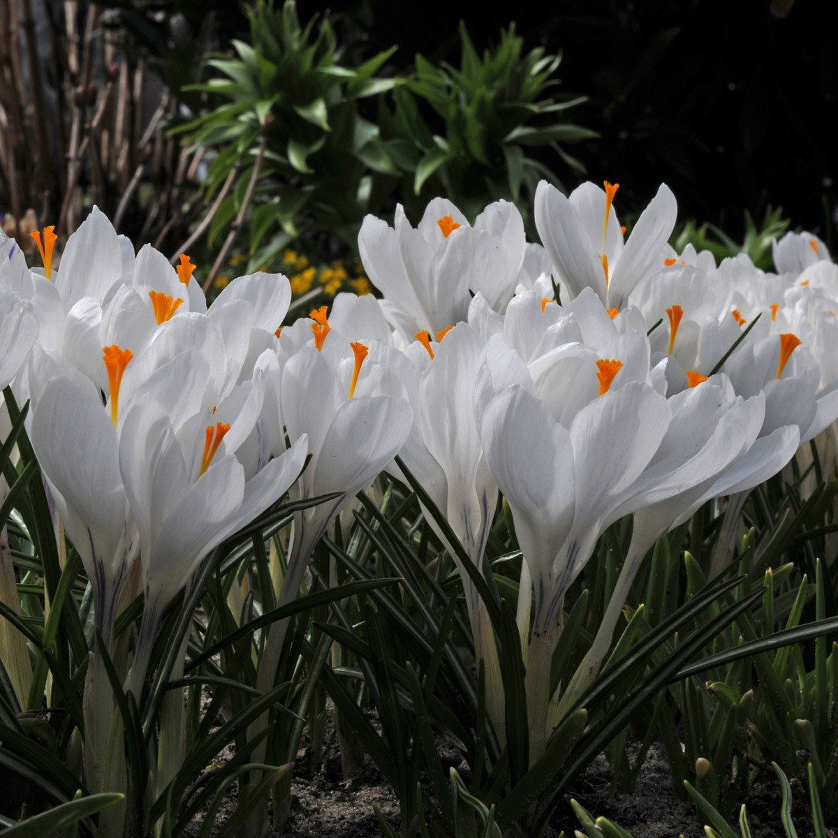 Humphreys Garden White Crocus Joan of Arc x 100 Bulbs Size 6/7 Humphreys Garden®