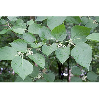 5 Rare Seeds -Chinese Alangium -White Flower - Container Tropical - Outdoor Deck Plant Or Standard - -Alangium Chinense : Garden & Outdoor